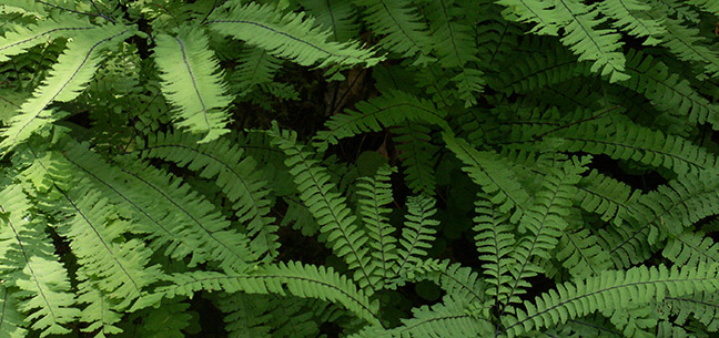 Oregon Coast Range Ferns